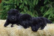 01_Puppies_Uragan_Alyaska_Girls_Black