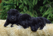 01_Puppies_Uragan_Alyaska_Girls_Black