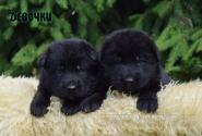 02_Puppies_Uragan_Alyaska_Girls_Black