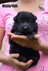03_Puppies_Uragan_Alyaska_Boy_Black
