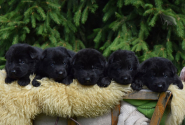 04_Puppies_Uragan_Alyaska_Black