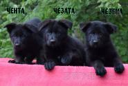 05_Puppies_Uragan_Alyaska_CHENTA_CHEZATA_CHEZENA