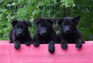 06_Puppies_Uragan_Alyaska_CHENTA_CHEZATA_CHEZENA