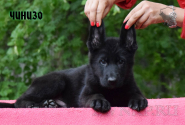 07_Puppies_Uragan_Alyaska_CHINIZO