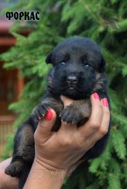 07_Puppies_Mac_Yuventa_FORKAS