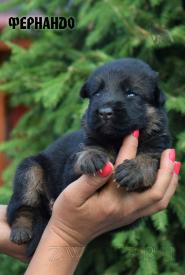 09_Puppies_Mac_Yuventa_FERNANDO