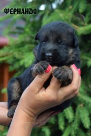 10_Puppies_Mac_Yuventa_FERNANDO