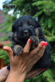 12_Puppies_Mac_Yuventa_FARIN