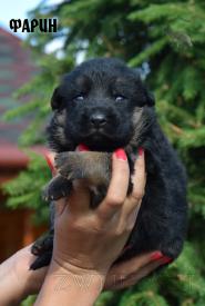 13_Puppies_Mac_Yuventa_FARIN