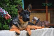 27_Puppies_Mac_Yuventa_FUAGRA