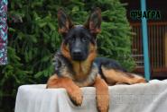 29_Puppies_Mac_Yuventa_FUAGRA