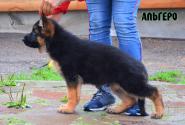 08_Puppies_Ekaraj_Yunita_ALGERO