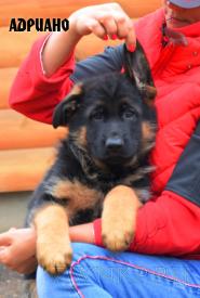 09_Puppies_Ekaraj_Yunita_ADRIANO