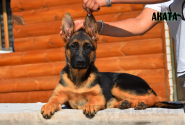 23_Puppies_Ekaraj_Yunita_AKATA