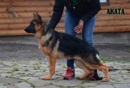 28_Puppies_Ekaraj_Yunita_AKATA