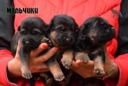 03_Puppies_Napoli_Barselona_Boys
