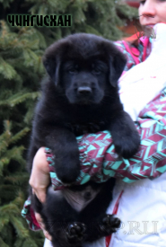 03_Puppies_Uragan_BFortuna_CHINGISKHAN_Black