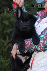 05_Puppies_Uragan_BFortuna_CHINGISKHAN_Black