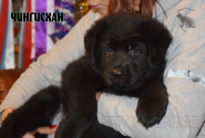 06_Puppies_Uragan_BFortuna_CHINGISKHAN_Black
