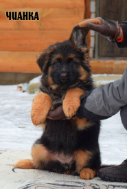 08_Puppies_Uragan_BFortuna_CHIANKA