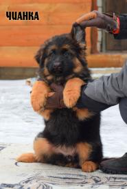 09_Puppies_Uragan_BFortuna_CHIANKA