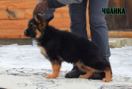 10_Puppies_Uragan_BFortuna_CHIANKA