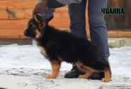10_Puppies_Uragan_BFortuna_CHIANKA