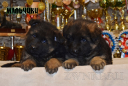 10_Puppies_Umaro_Yuksa_Boys