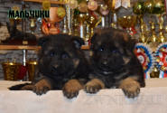 11_Puppies_Umaro_Yuksa_Boys