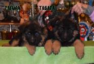 16_Puppies_Umaro_Yuksa_TAGIRA_TABATA
