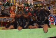 17_Puppies_Umaro_Yuksa_TAGIRA_TABATA