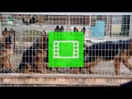 "Long-haired puppies of the German Shepherd Breeding Kennel ""Team Zilber Wasserfall"" / video 02 /"