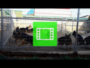 "In the German Shepherd Breeding Kennel ""Team Zilber Wasserfall"""