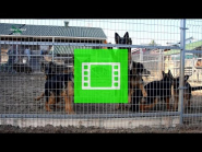 """Long-haired puppies / age - 5 months / of the German Shepherd Breeding Kennel """"Team Zilber Wasserfall"""" / video 01 /"""