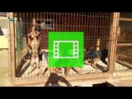 Standard puppies / age - 4 months / of the German Shepherd Breeding Kennel