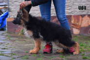 12_Puppies_Garry_Lambada_IVO