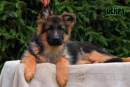 13_Puppies_Garry_Lambada_ISKRA
