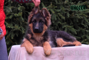 14_Puppies_Garry_Lambada_INESSA