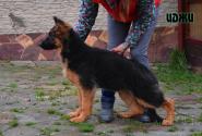 16_Puppies_Garry_Lambada_IDZHI