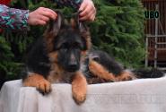 17_Puppies_Garry_Lambada_IVO