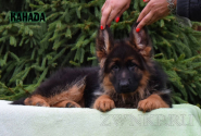 03_Puppies_Uragan_Dakota_KANADA