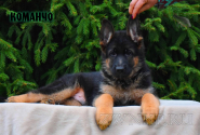 08_Puppies_Uragan_Dakota_KOMANCHO