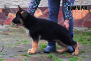 09_Puppies_Uragan_Dakota_KOMANCHO