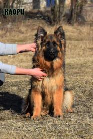 13_Puppies_Uragan_Dakota_KAORI