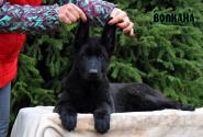 03_Puppies_Uragan_Fleshka_VOLKANA