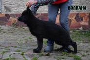 04_Puppies_Uragan_Fleshka_VOLKANA