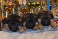 07_Puppies_Yamaguchi_Yagodka