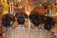 10_Puppies_Yamaguchi_Yagodka