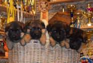 11_Puppies_Yamaguchi_Yagodka