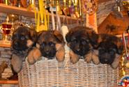 12_Puppies_Yamaguchi_Yagodka